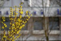 Κίτρινα λουλούδια στους κλάδους την άνοιξη στην πόλη Τα νέα πορτοκαλιά φύλλα αυξάνονται στοκ φωτογραφίες με δικαίωμα ελεύθερης χρήσης