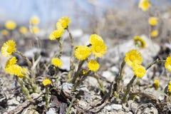 Κίτρινα λουλούδια στο γκρίζο έδαφος την πρώιμη άνοιξη στη Σιβηρία στοκ φωτογραφία με δικαίωμα ελεύθερης χρήσης