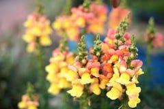 Κίτρινα λουλούδια του antirrhinum Στοκ Εικόνες