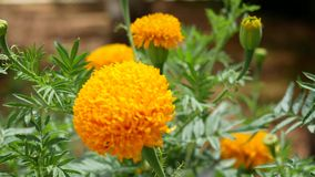 Κίτρινα λουλούδια το καλοκαίρι απόθεμα βίντεο