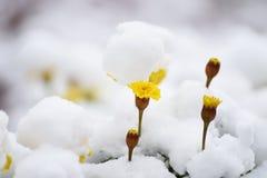 Κίτρινα λουλούδια φθινοπώρου κάτω από το πρώτο χιόνι Στοκ Εικόνες