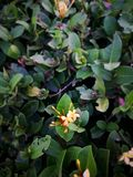 Κίτρινα λουλούδια φλογών ζουγκλών στοκ εικόνα με δικαίωμα ελεύθερης χρήσης