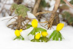 Κίτρινα λουλούδια χειμερινών ακονίτων στο χιόνι στοκ εικόνα με δικαίωμα ελεύθερης χρήσης