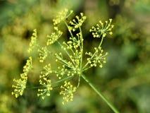 Κίτρινα λουλούδια Anethum εγκαταστάσεων άνηθου graveolens Στοκ Εικόνα
