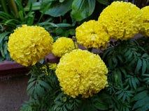 κίτρινα λουλούδια cempasuchil στον κήπο στοκ φωτογραφίες με δικαίωμα ελεύθερης χρήσης