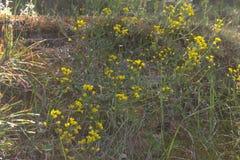 Κίτρινα λουλούδια Cinquefoil Η ετερόκλητη χλόη άνοιξη Στοκ φωτογραφία με δικαίωμα ελεύθερης χρήσης