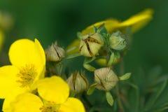 Κίτρινα λουλούδια cinquefoil Στοκ Εικόνα