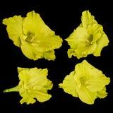 Κίτρινα λουλούδια gladiolus σε ένα μαύρο υπόβαθρο Στοκ Εικόνες