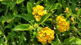 Κίτρινα λουλούδια Unbloomed Στοκ Εικόνες