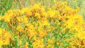 Κίτρινα λουλούδια wort του ST-John ` s που ανθίζει στον τομέα απόθεμα βίντεο