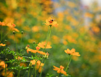 Κίτρινα λουλούδι αστεριών και έντομο μελισσών που πετά για το μέλι Στοκ Φωτογραφίες