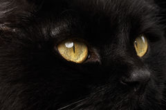 Κίτρινα μάτια κινηματογραφήσεων σε πρώτο πλάνο μαύρο Snout γατών στο υπόβαθρο Στοκ Φωτογραφίες