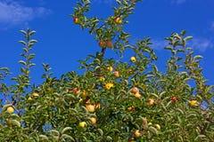Κίτρινα μήλα σε ένα δέντρο Στοκ φωτογραφία με δικαίωμα ελεύθερης χρήσης