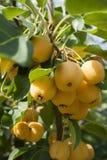 Κίτρινα μήλα σε ένα δέντρο του παραδείσου στοκ φωτογραφίες