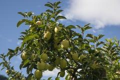 Κίτρινα μήλα στοκ εικόνες με δικαίωμα ελεύθερης χρήσης