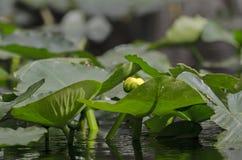 Κίτρινα μαξιλάρια κρίνων Spatterdock λουλουδιών, εθνικό καταφύγιο άγριας πανίδας ελών Okefenokee Στοκ Φωτογραφίες