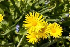 Κίτρινα μικρά λουλούδια Στοκ Φωτογραφίες