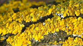 Κίτρινα μικρά φύκια και μανιτάρια σε ένα δέντρο στοκ φωτογραφίες