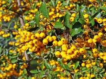 Κίτρινα μούρα crataegus με τα πράσινα φύλλα στη Ρουμανία Στοκ εικόνες με δικαίωμα ελεύθερης χρήσης
