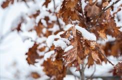 Κίτρινα νεκρά ξηρά φύλλα παλαιό δρύινο Quercus Plantae δέντρων που καλύπτεται με το χιόνι στην εκλεκτική εστίαση εικόνας υποβάθρο στοκ εικόνα με δικαίωμα ελεύθερης χρήσης