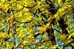 Κίτρινα ξηρά φύλλα χειμερινών δέντρων φθινοπώρου, θολωμένο φυσικό υπόβαθρο φθινοπώρου οικολογίας στοκ εικόνες