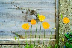 Κίτρινα ουαλλέζικα λουλούδια παπαρουνών Στοκ Φωτογραφία