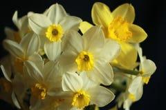 Κίτρινα λουλούδια άνοιξη σε ένα μαύρο υπόβαθρο, νάρκισσοι Στοκ Φωτογραφίες
