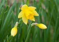 Κίτρινα λουλούδια άνοιξη Στοκ εικόνες με δικαίωμα ελεύθερης χρήσης