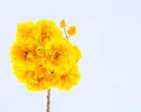 Κίτρινα λουλούδια βαμβακιού, λουλούδια βαμβακιού μεταξιού, δέντρο όμορφο στο SK Στοκ Φωτογραφία
