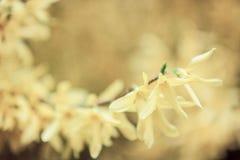 Κίτρινα λουλούδια βανίλιας Στοκ Φωτογραφίες