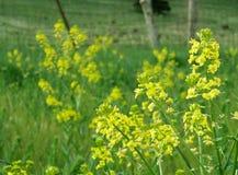Κίτρινα λουλούδια εγκαταστάσεων μουστάρδας Στοκ φωτογραφία με δικαίωμα ελεύθερης χρήσης