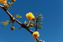 Κίτρινα λουλούδια ενός κόκκινου δέντρου ακακιών στοκ εικόνες