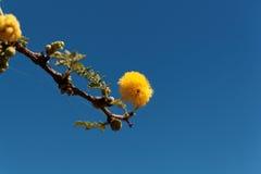 Κίτρινα λουλούδια ενός κόκκινου δέντρου ακακιών στοκ εικόνα