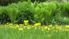 Κίτρινα λουλούδια λιβαδιών και φύλλα φυτών φτερών στον κήπο 4K απόθεμα βίντεο