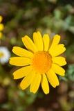 Κίτρινα λουλούδια και δέντρο άνοιξη στην Τουρκία Στοκ Εικόνες