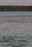 Κίτρινα λουλούδια και φύλλα κρίνων νερού στο νερό Στοκ εικόνες με δικαίωμα ελεύθερης χρήσης