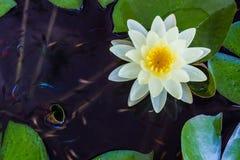 Κίτρινα λουλούδια κρίνων λουλουδιών ή νερού λωτού. Στοκ φωτογραφία με δικαίωμα ελεύθερης χρήσης