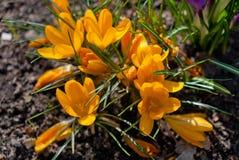 Κίτρινα λουλούδια κρόκων άνθισης άνοιξη Στοκ Φωτογραφία