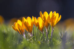 Κίτρινα λουλούδια κρόκων της άνοιξη στα ξημερώματα, Λονδίνο, UK Στοκ Φωτογραφίες