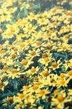 Κίτρινα λουλούδια μαργαριτών, εκλεκτής ποιότητας χρώμα που φιλτράρεται Στοκ Εικόνα