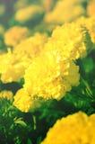 Κίτρινα λουλούδια μαργαριτών, τρύγος που φιλτράρεται Στοκ εικόνες με δικαίωμα ελεύθερης χρήσης