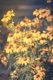 Κίτρινα λουλούδια μαργαριτών, τρύγος που φιλτράρεται Στοκ Φωτογραφίες