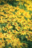 Κίτρινα λουλούδια μαργαριτών, τρύγος που φιλτράρεται Στοκ εικόνα με δικαίωμα ελεύθερης χρήσης