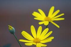 Κίτρινα λουλούδια μαργαριτών Στοκ Εικόνα