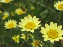 Κίτρινα λουλούδια μαργαριτών Στοκ φωτογραφίες με δικαίωμα ελεύθερης χρήσης