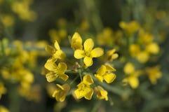 Κίτρινα λουλούδια μουστάρδας Στοκ Εικόνες