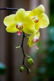 Κίτρινα λουλούδια ορχιδεών Στοκ φωτογραφία με δικαίωμα ελεύθερης χρήσης