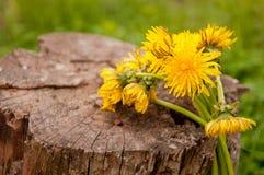 Κίτρινα λουλούδια πικραλίδων στο κολόβωμα Στοκ Φωτογραφία
