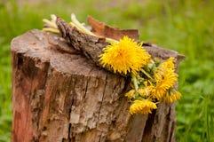 Κίτρινα λουλούδια πικραλίδων στο κολόβωμα Στοκ Φωτογραφίες