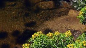 Κίτρινα λουλούδια που ταλαντεύονται πέρα από έναν καθαρό ποταμό απόθεμα βίντεο